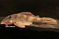 """Bild 11: Peckoltia sp. """"L265"""" / """"LDA 84"""""""