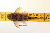 """Bild 21: Peckoltia sp. """"L265"""" / """"LDA 84"""""""