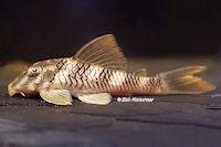 """Bild 23: Peckoltia sp. """"L265"""" / """"LDA 84"""""""