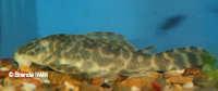 """Bild 4: Peckoltia sp. """"L278"""""""