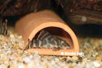 """Bild 3: Peckoltia sp. """"L278"""""""