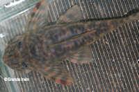 """Bild 7: Peckoltia sp. """"L278"""""""