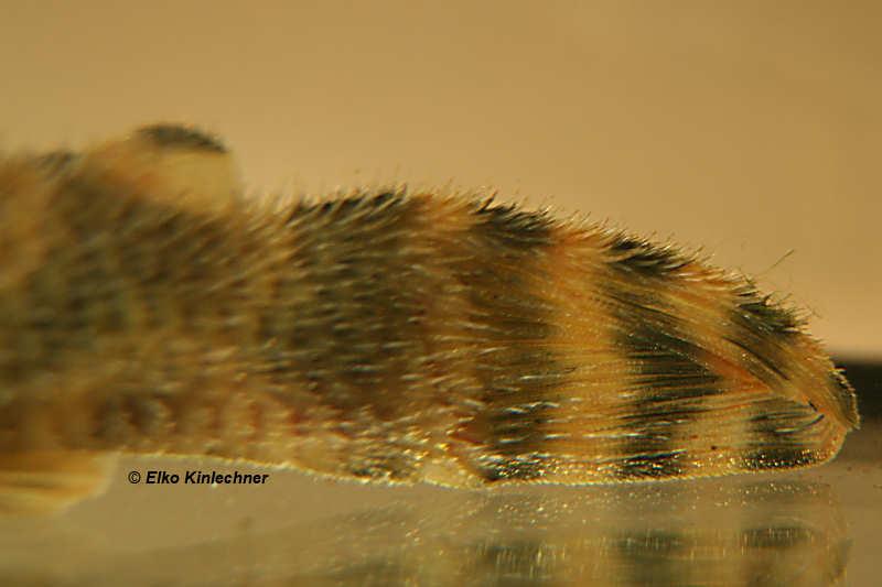 Schwanz eines Peckoltia