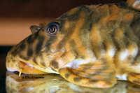 """Bild 7: Peckoltia sp. """"L288"""""""