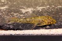 """Bild 16: Peckoltia sp. """"L288"""""""