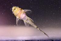 """Bild 18: Peckoltia sp. """"L288"""""""