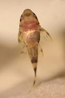 """Bild 22: Peckoltia sp. """"L 288"""" - 25 mm"""