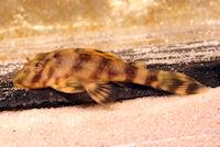 """Bild 23: Peckoltia sp. """"L 288"""" ~35 mm"""