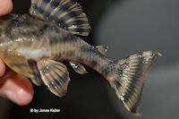 """Bild 5: Peckoltia sp. """"L405"""""""