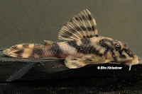 Pic. 35: Peckoltia lineola (L202 / LDA57)