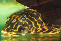 """Bild 3: Peckoltia sp. """"Red Tiger"""""""