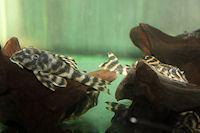 """Bild 4: Peckoltia sp. """"Red Tiger"""""""