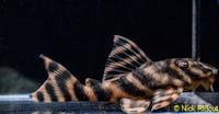 "Bild 9: Peckoltia sp. ""Rio Negro II"""