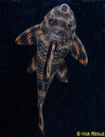 "Bild 8: Peckoltia sp. ""Rio Negro II"""