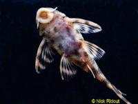 "Bild 6: Peckoltia sp. ""Rio Negro II"""