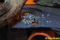 """Bild 4: Peckoltia sp. """"Rio Tocantins"""""""