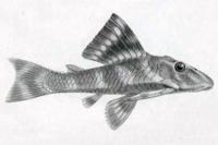 Peckoltia vittata - Type