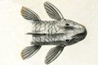 Bild 3: Pogonopoma parahybae - Dorsal