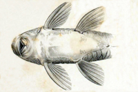 Bild 4: Pogonopoma parahybae - Ventral