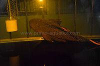 "Bild 4: Pseudacanthicus cf. leopardus ""Rio Içana"""