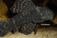 """Bild 2: Pseudacanthicus sp. """"L65"""""""