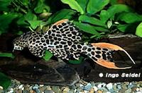 """Bild 6: Pseudacanthicus cf. leopardus """"L114"""" / """"LDA 7"""""""