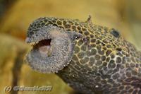 """Bild 4: Pseudacanthicus cf. leopardus """"L114"""" / """"LDA 7"""""""