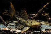 """Pseudacanthicus cf. leopardus """"L114"""" / """"LDA 7"""""""