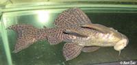 """Bild 3: Pseudacanthicus cf. hystrix """"L185"""""""