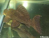 """Bild 2: Pseudacanthicus sp. """"L185"""""""