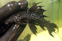 """Bild 2: Pseudacanthicus sp. """"L320"""""""