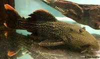"Pseudacanthicus cf. leopardus ""L427"""