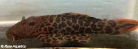 """Bild 3: Pseudacanthicus cf. leopardus """"L427"""""""