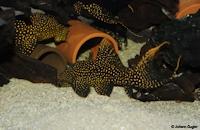 """Bild 7: Pseudacanthicus sp.  """"LDA105"""""""