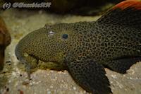 Bild 3: Pseudacanthicus leopardus