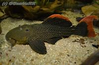 Bild 4: Pseudacanthicus leopardus