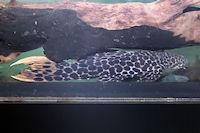 Bild 5: Pseudacanthicus leopardus
