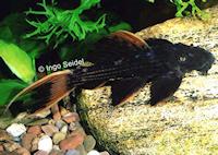 Bild 4: Pseudacanthicus pirarara (L25)