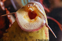 foto 133: Pseudacanthicus pirarara (L 25)