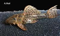 Bild 2: Pseudacanthicus spinosus