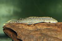 Bild 4: Pseudancistrus asurini (L67)