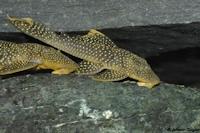 Bild 10: Pseudancistrus asurini (L67)