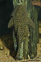Bild 15: Pseudancistrus asurini (L67)