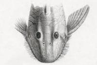 Bild 3: Pseudancistrus depressus - Type