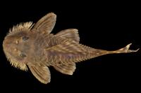 Bild 3: Pseudancistrus kwinti, holotype, ventral