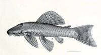 Pseudancistrus nigrescens