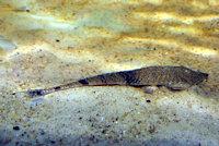 Bild 6: Pseudohemiodon apithanos