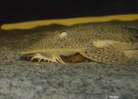 Bild 9: Pseudohemiodon apithanos