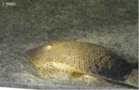 Bild 8: Pseudohemiodon apithanos