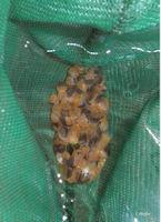 Bild 11: Pseudohemiodon apithanos
